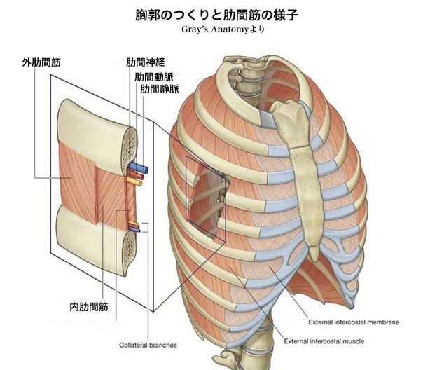 「肋間筋損傷」の画像検索結果